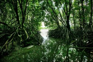 Mangrove Kampot